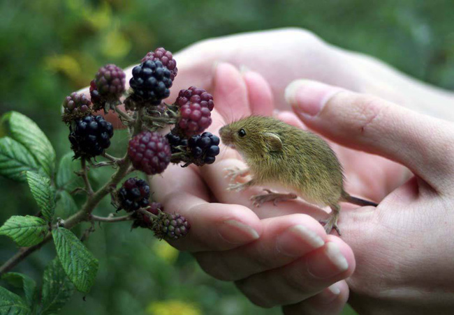 harvest-mouse-and-berries