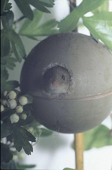 harvest-mouse-death-star