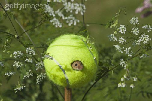 harvest-mouse-nest