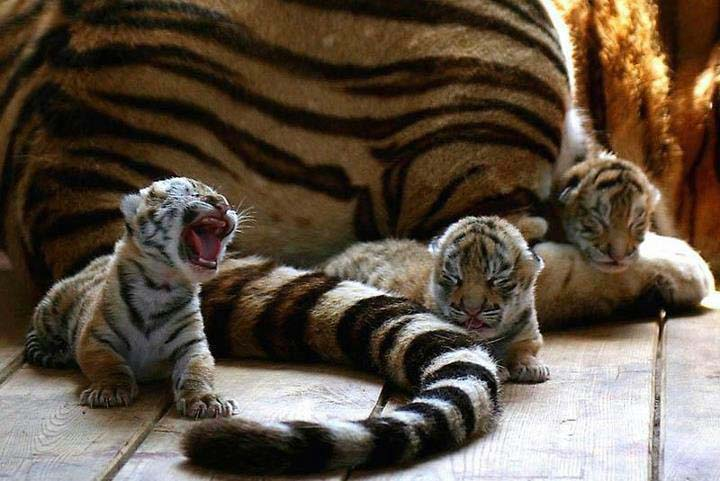 tiger babies are fierce!